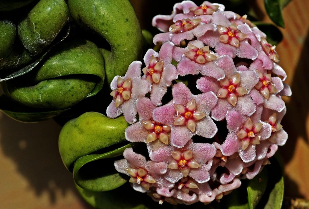 Цветы, среди цветов купить хойю