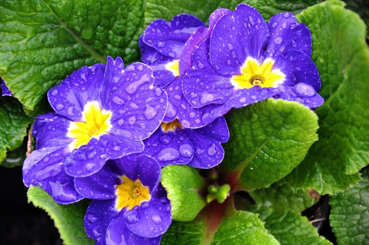 Images gratuites bleu fleur de printemps alto primula pens e plante fleurs plante - Image fleur violette gratuite ...