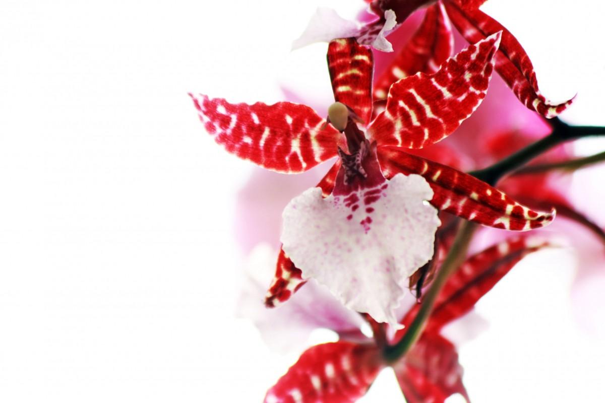 Images Gratuites : branche, blanc, feuille, fleur, pétale, modèle, aliments, rouge, rose ...