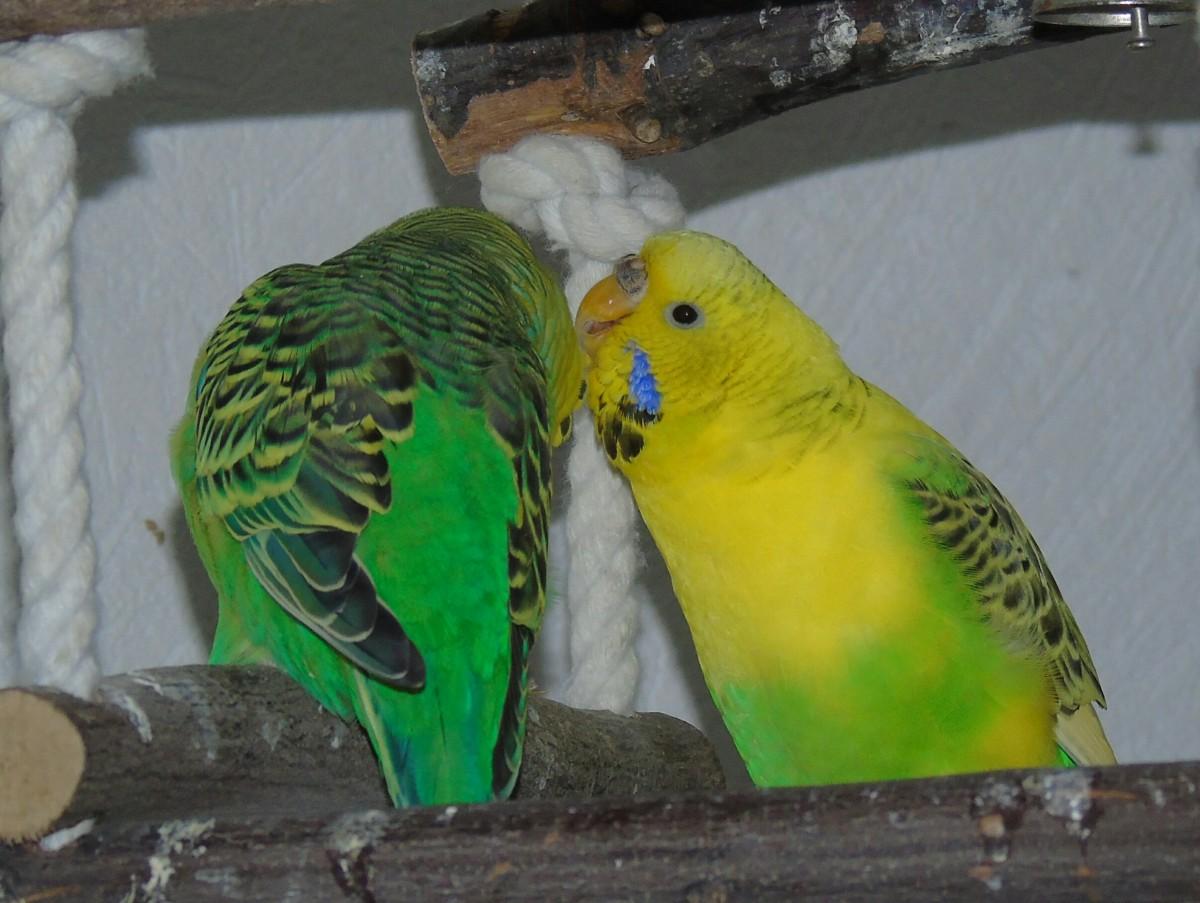 Окрасы волнистых попугаев - цвета, фото разных окрасов 65