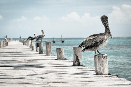 pelican_pier_bird_sea_seabird-169.jpg!s