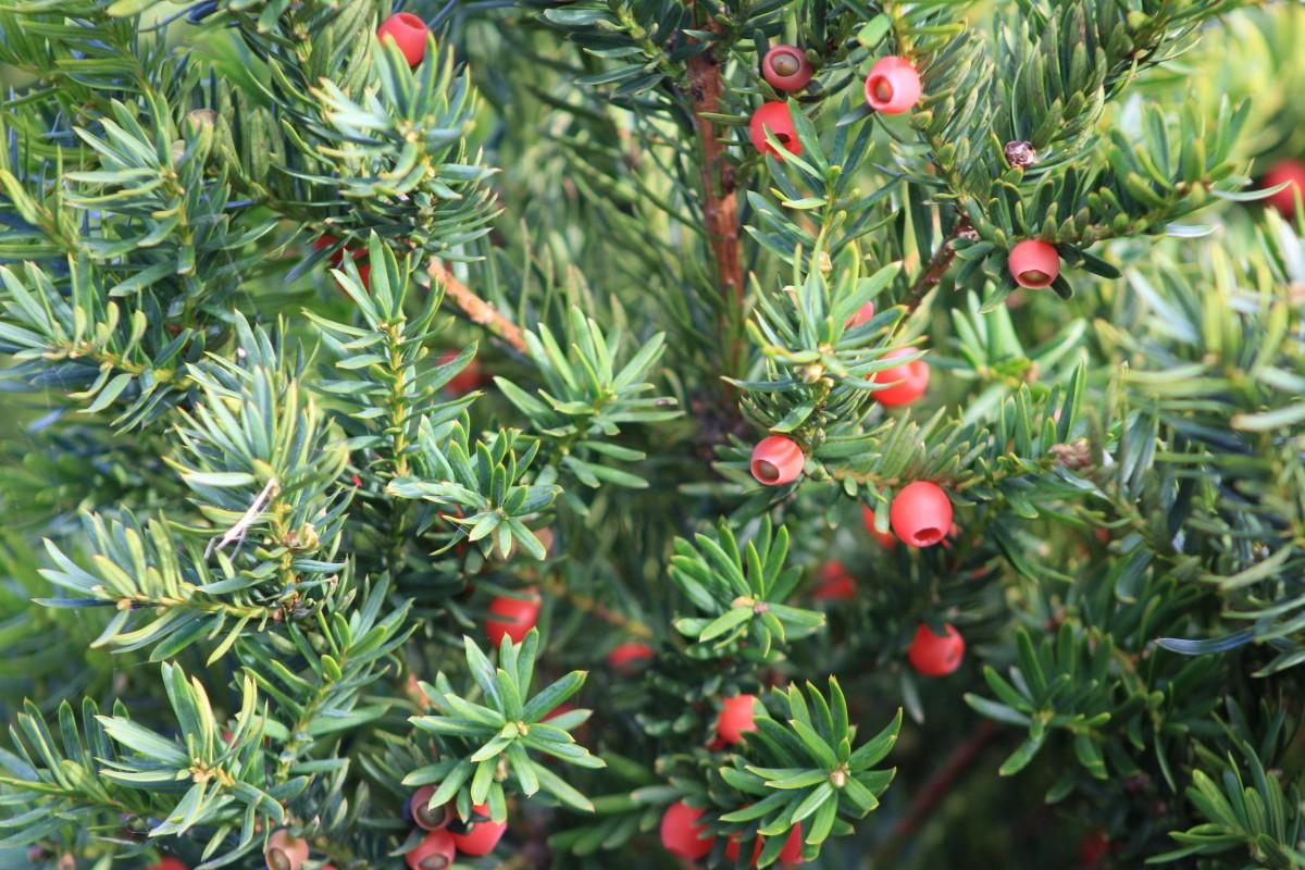 Images gratuites arbre la nature branche bois baie for Plante rouge de noel