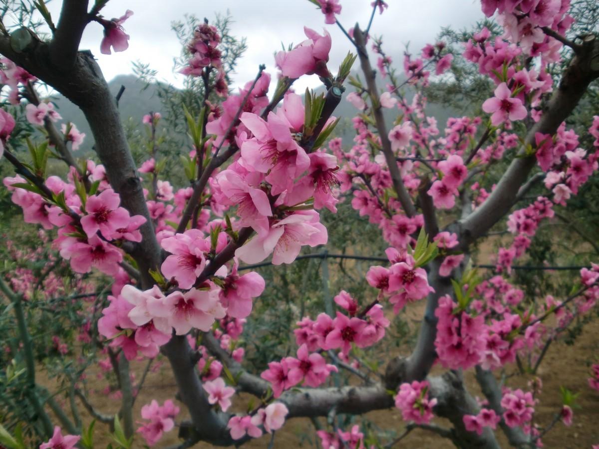 Immagini belle albero ramo fiorire pianta fioritura for Pianta di ciliegio