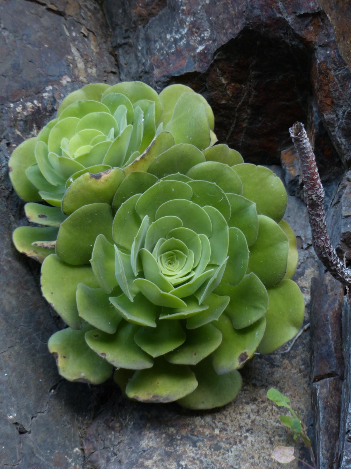 fotos gratis   flor  verde  produce  bot u00e1nica  suculento