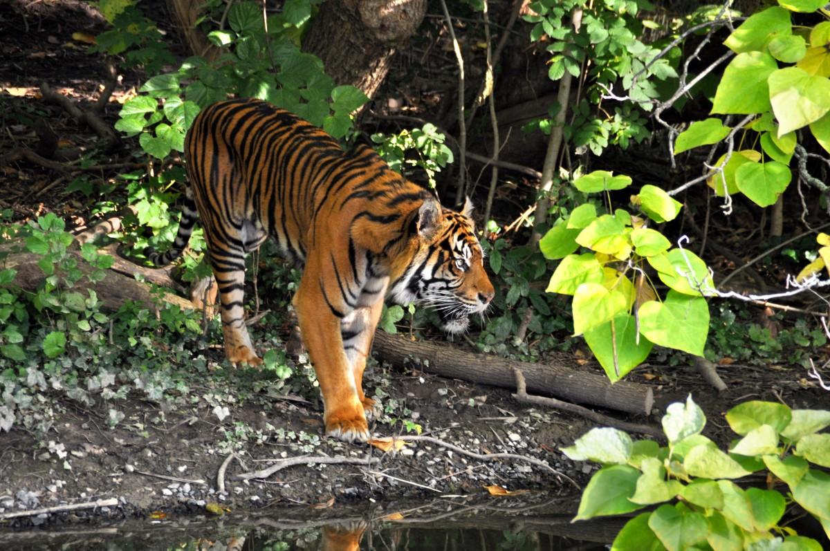 tiger_zoo_cat_predator_animals_dangerous_stripes-1108901.jpg!d