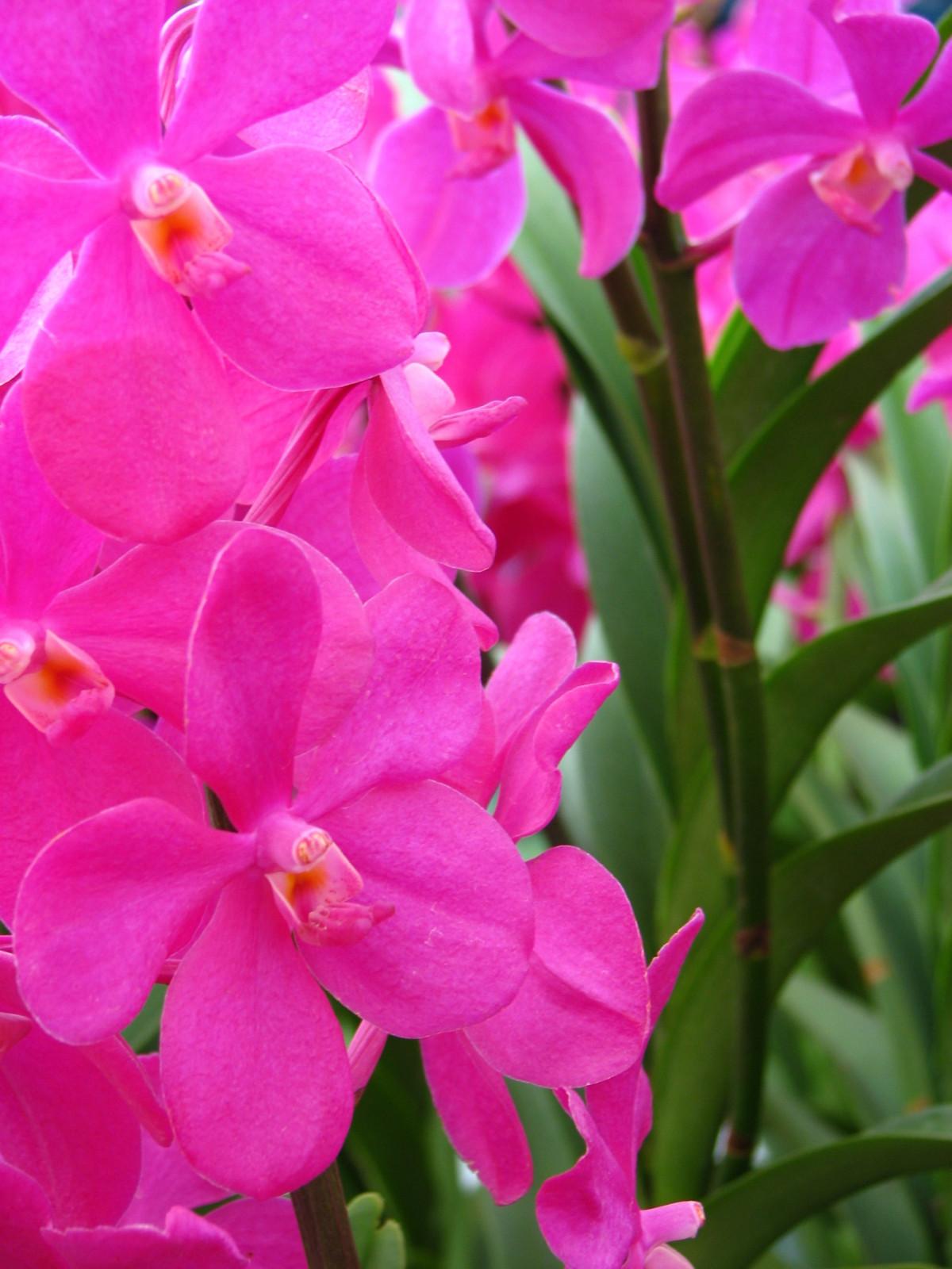 Free Images Flower Petal Botany Pink Flora Orchid Flowers