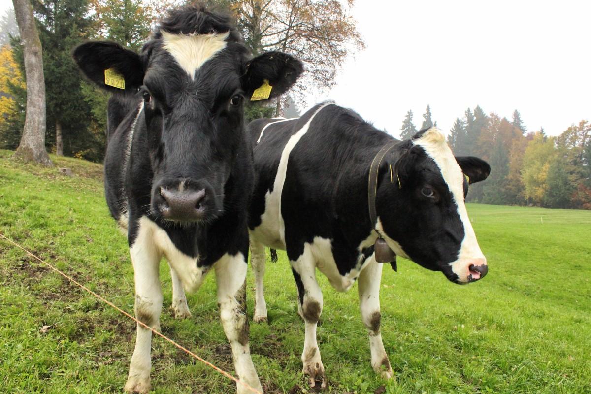 Free Images Farm Food Herd Pasture Grazing Calf Bull Vertebrate Dairy Cow Cattle Like