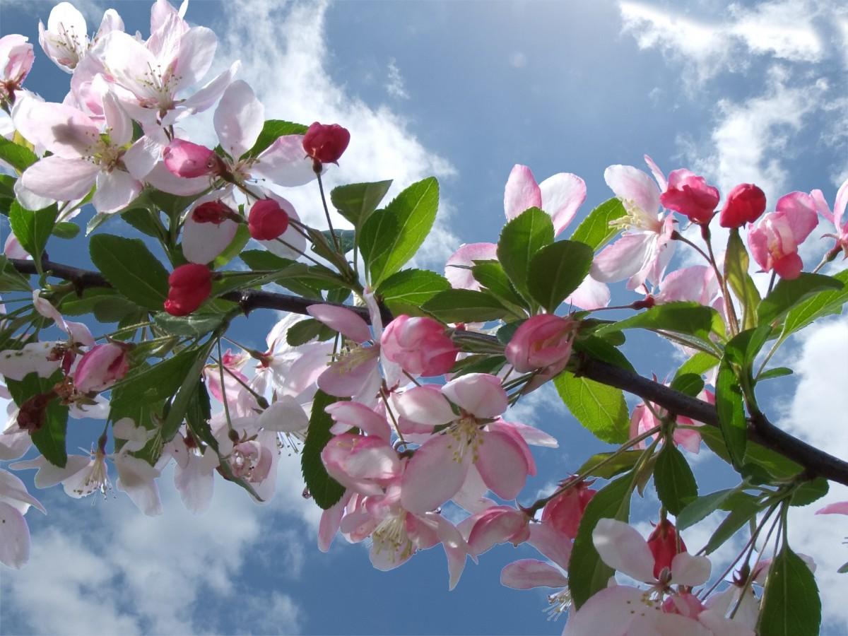 Images gratuites arbre branche feuille p tale floraison printemps rouge color couleur - Arbre fleurs rouges printemps ...
