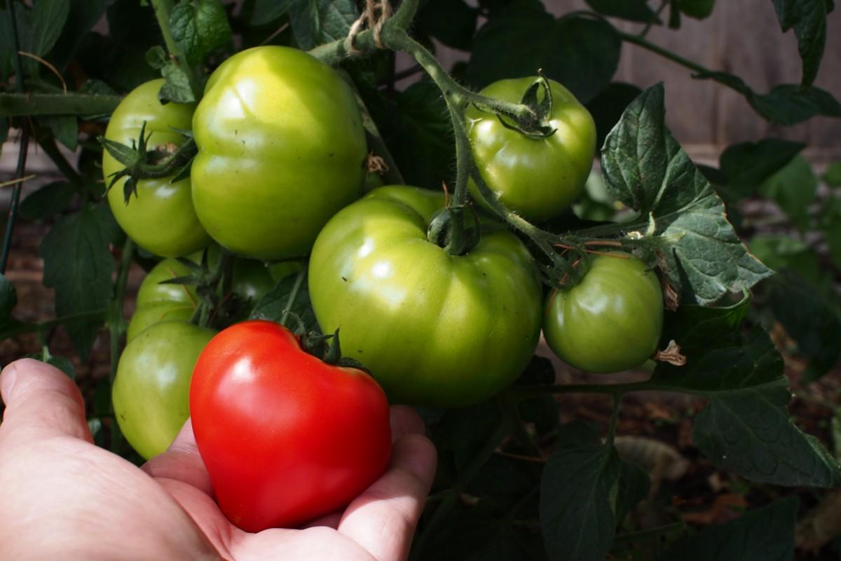 растение, фрукты, цветок, Спелый, Пища, Зеленый, производить, Овощной, сад, помидор, Помидоры, цветущее растение, Наземный завод, Картофель и томатный сорт