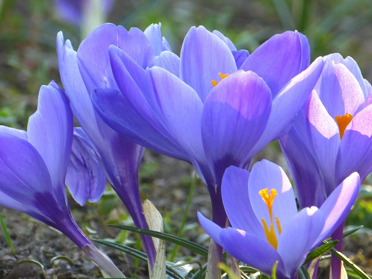 расцветающие весенние цветы в картинках они бросают