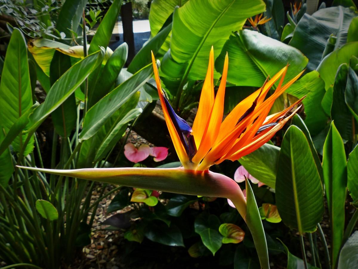 Images gratuites feuille fleur jungle botanique jardin flore arbuste exotique - Plante oiseau de paradis ...