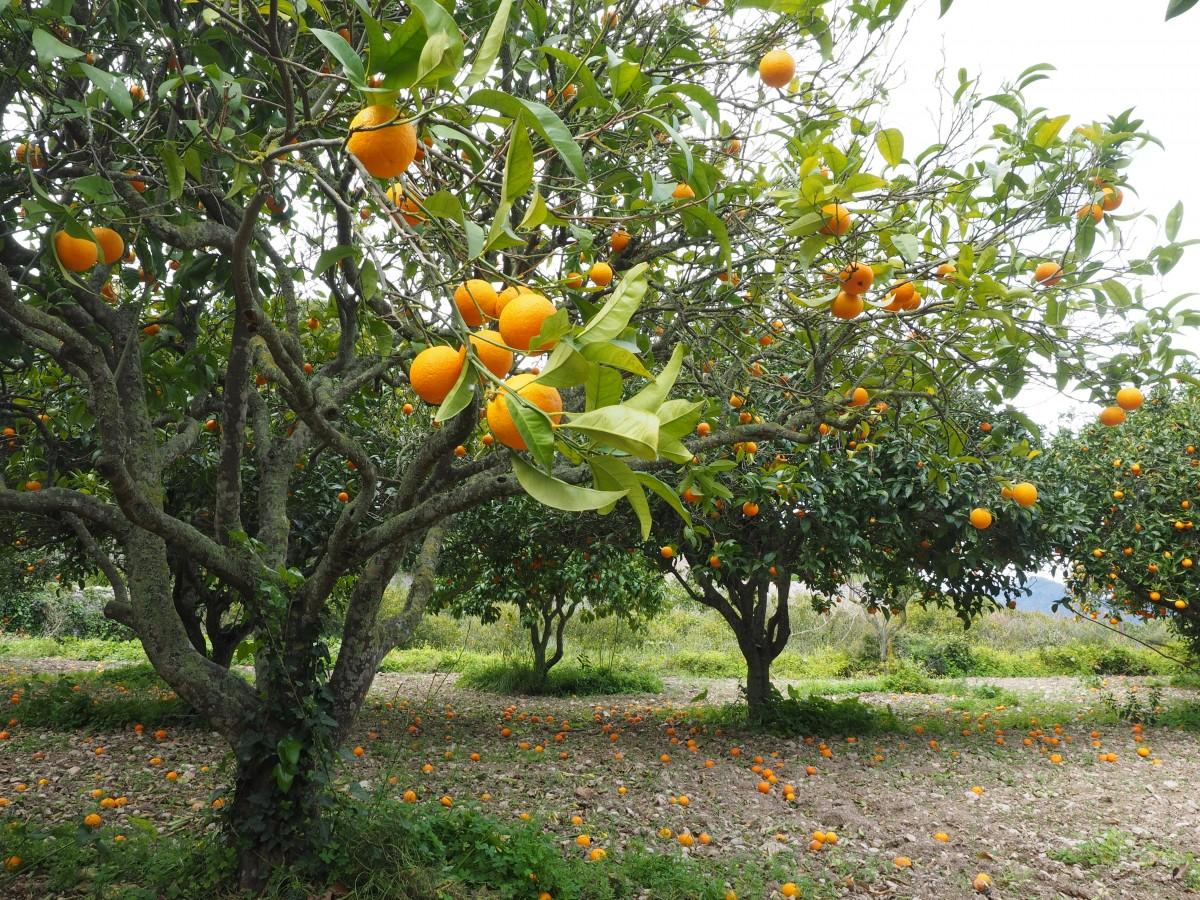 Images gratuites arbre fruit fleur aliments produire for Plante orange
