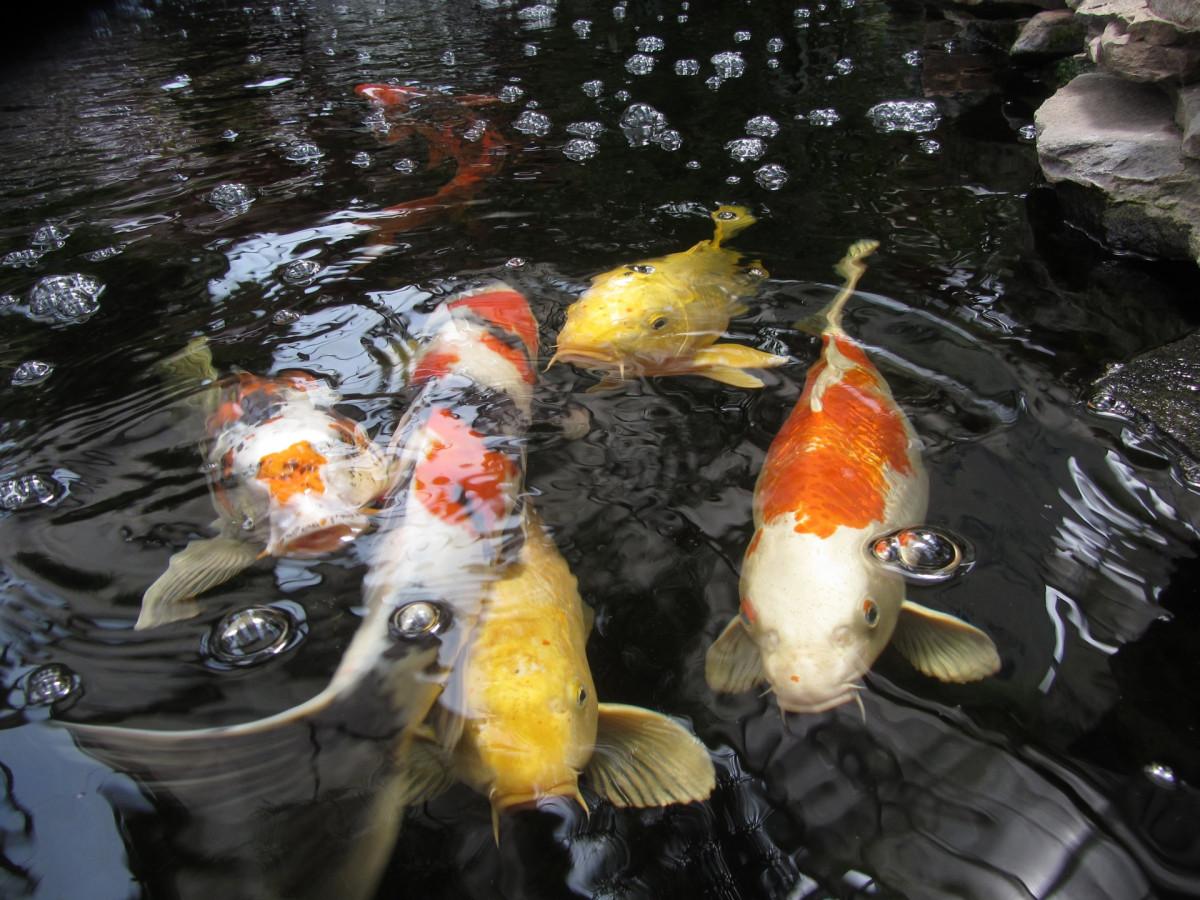Fotos gratis estanque naranja amarillo pescado for Koi pond bubble