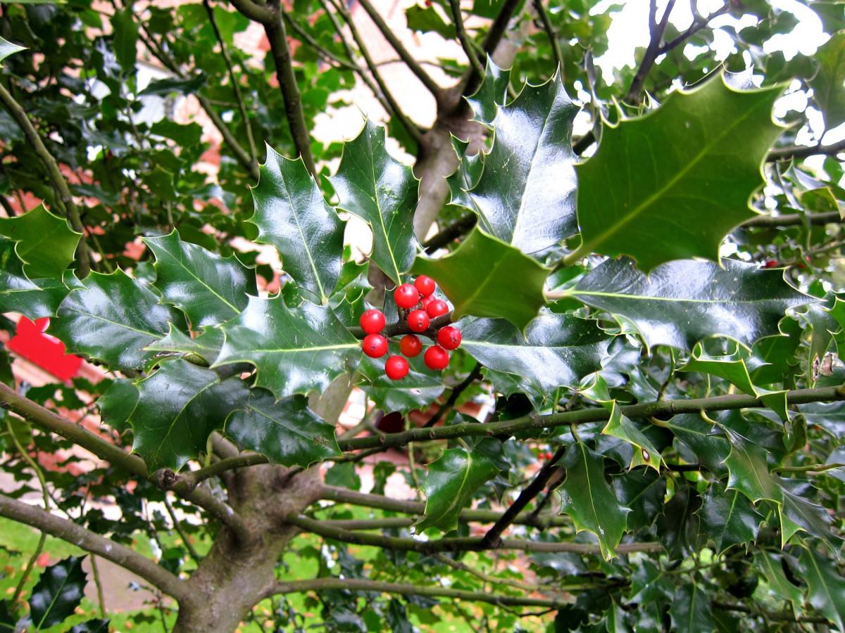 Images gratuites arbre branche fleur fruit baie feuille buisson aliments rouge - Arbre feuille rouge fruit rouge ...