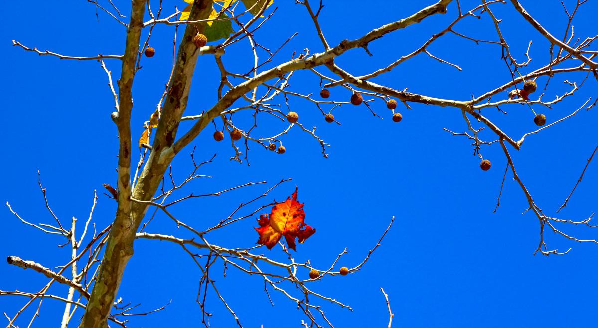 the north american sycamore tree