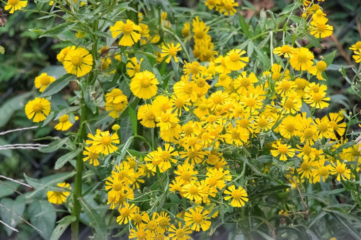 menanam padang rumput bunga kota herba menghasilkan bunga liar de dari Kanada belukar menyesali quebec montreal ville moster tanaman berbunga keluarga daisy subshrub tanaman tanah rue umum