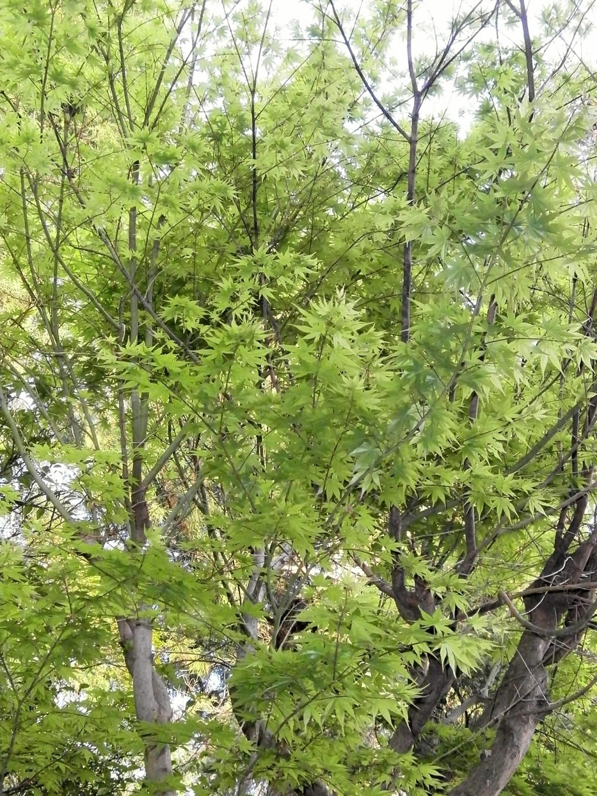 Images gratuites arbre branche fleur vert l 39 automne for Plante 7 feuilles