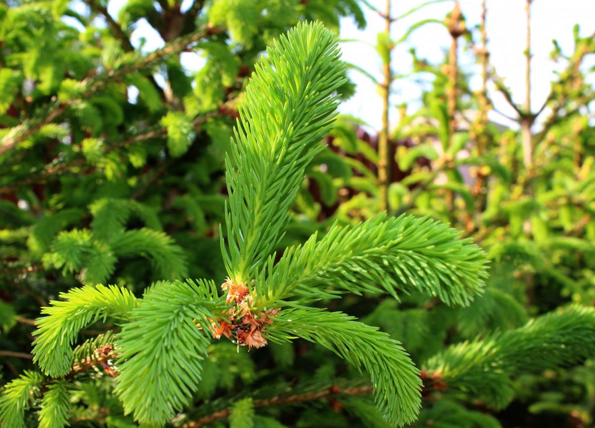 Images gratuites arbre branche fleur pays botanique for Arbres a feuilles persistantes
