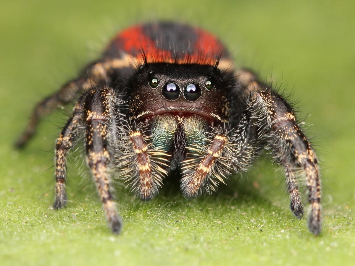 Hyppyhämähäkit