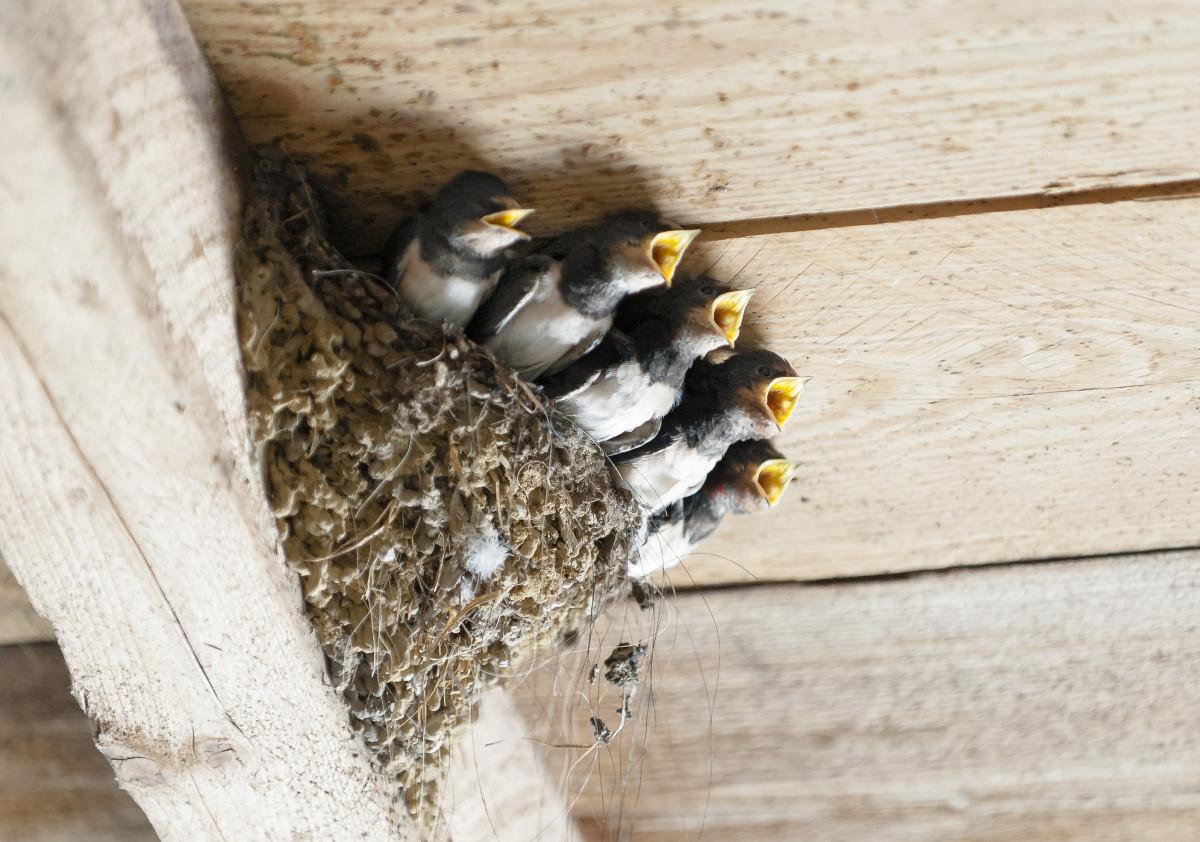 Как ласточки делают гнезда фото