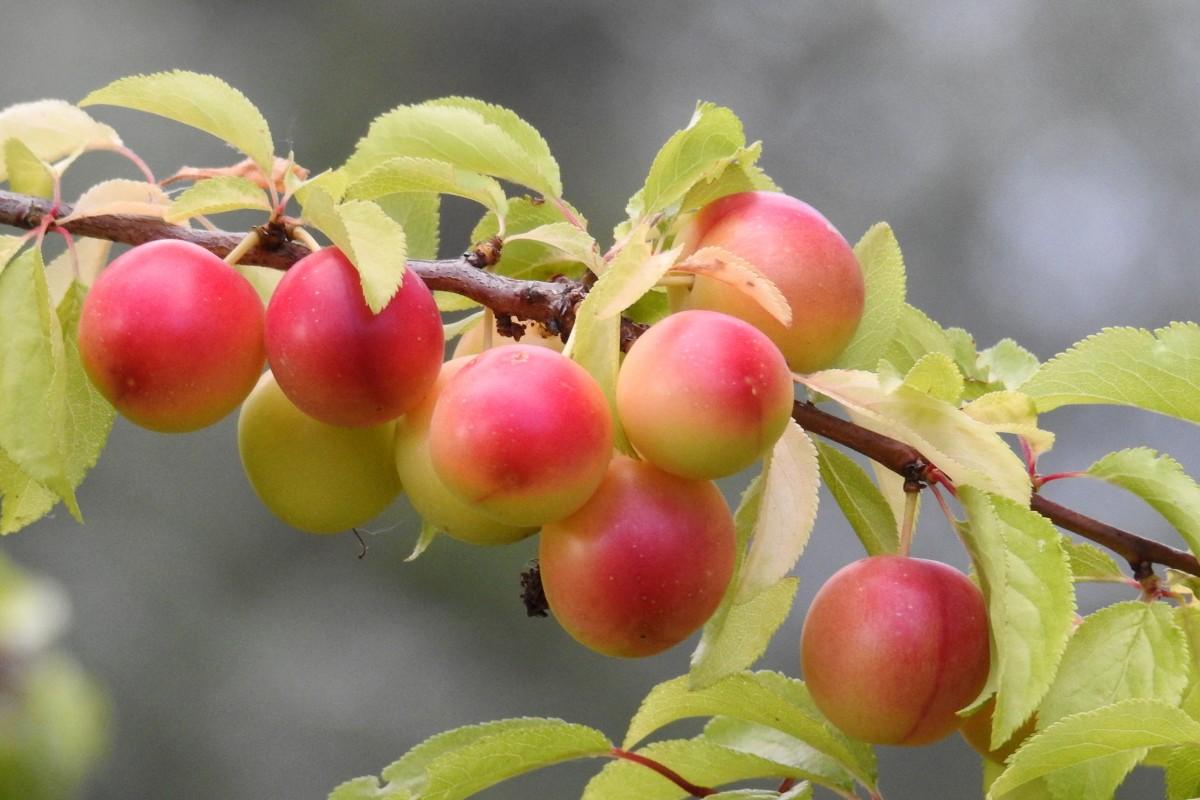 Fotos gratis rama fruta baya flor huerta verano for Arboles para plantar en verano