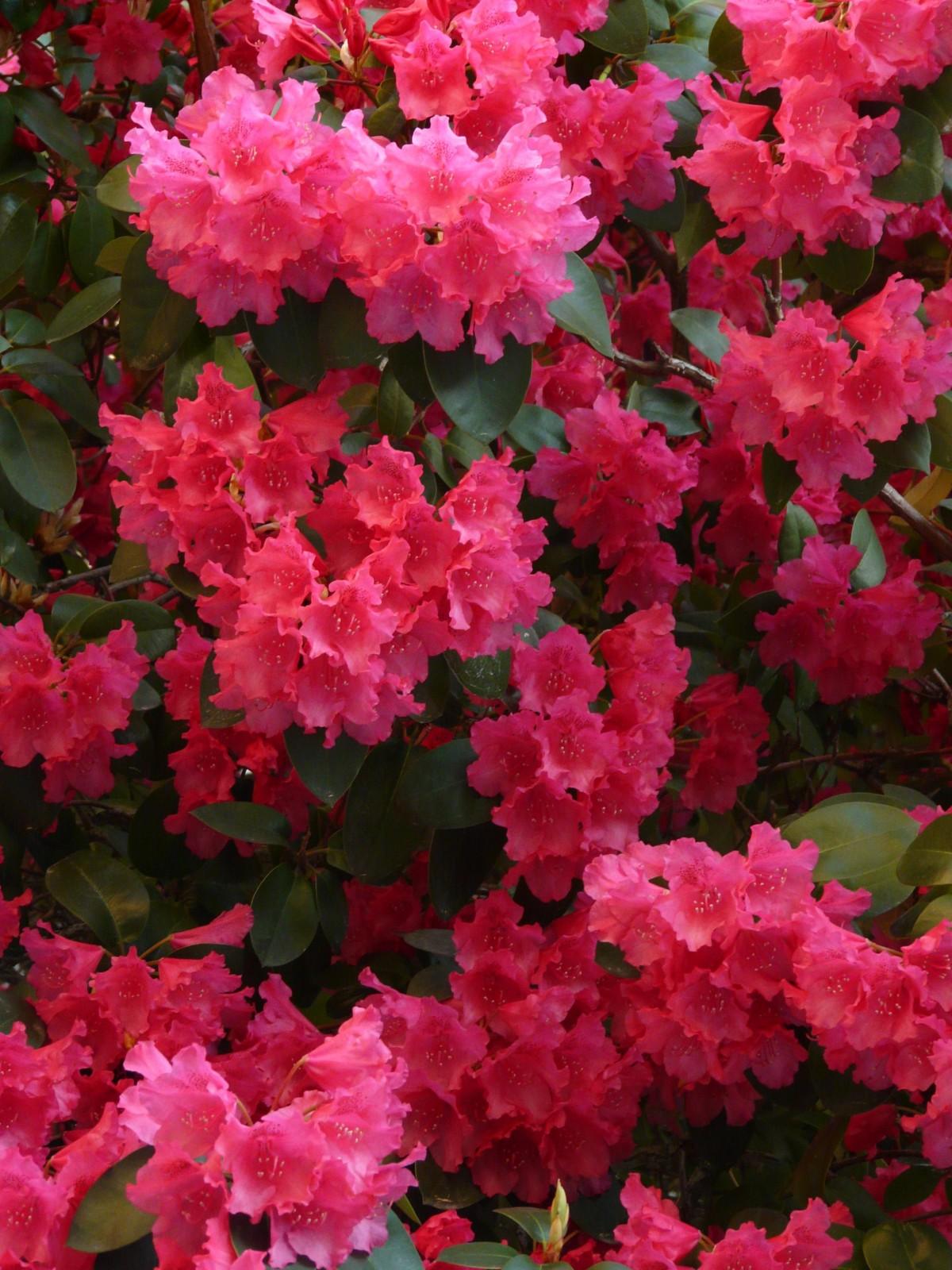 Азалия цветок на улице