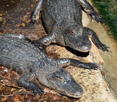 Free Images : wildlife, fauna, vertebrate, teeth, dangerous