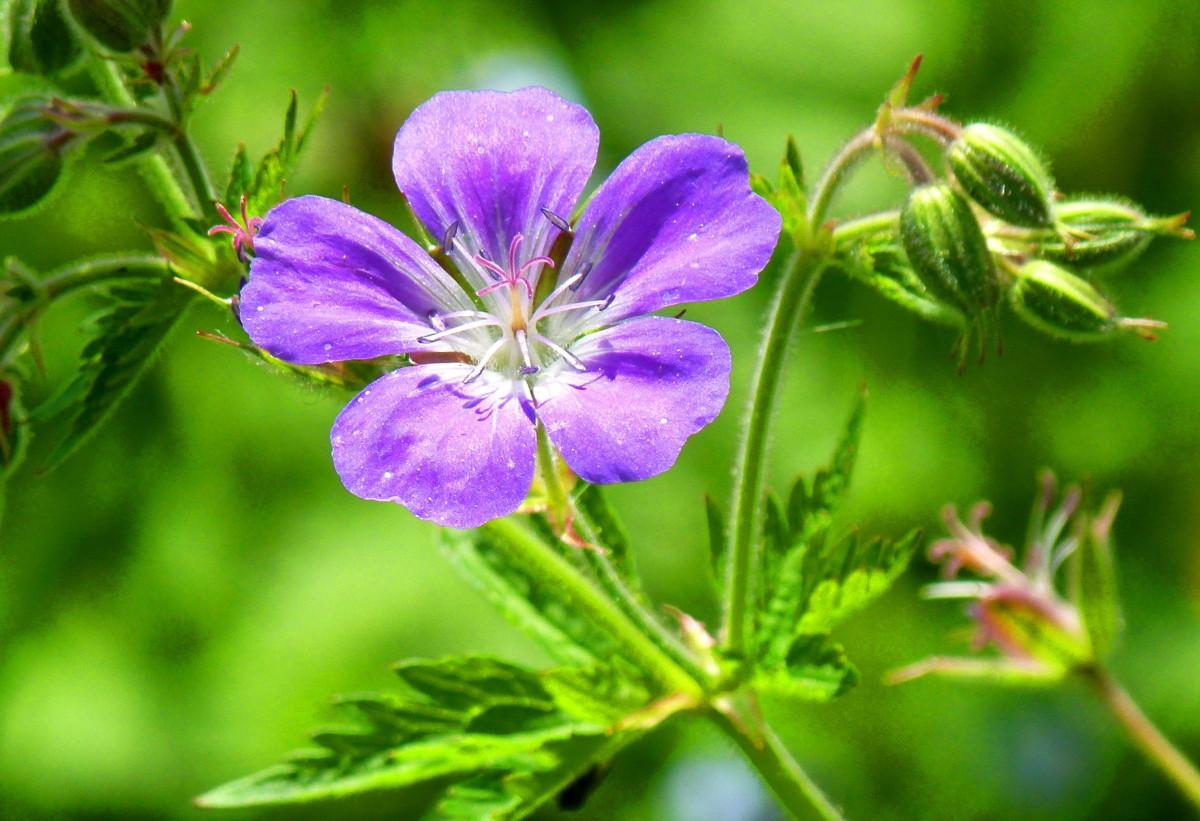geranium vivaces