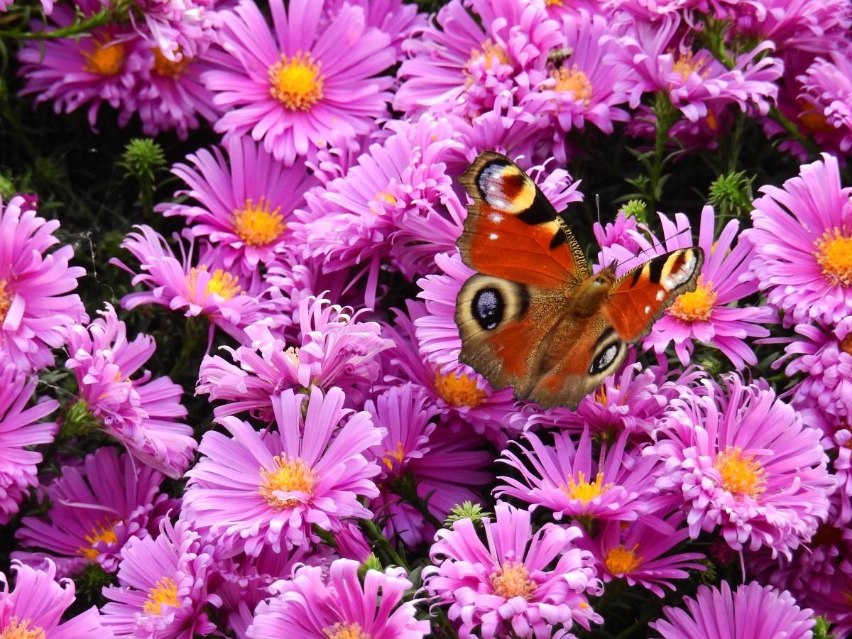 kostenlose foto natur blume lila bl tenblatt g nsebl mchen insekt schmetterling flora. Black Bedroom Furniture Sets. Home Design Ideas