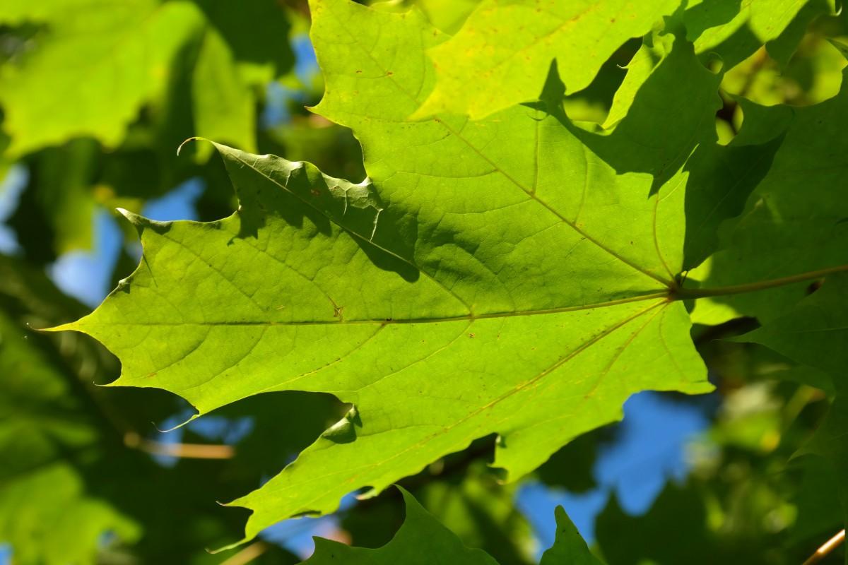 Images gratuites arbre branche lumi re du soleil vert for Plante 7 feuilles