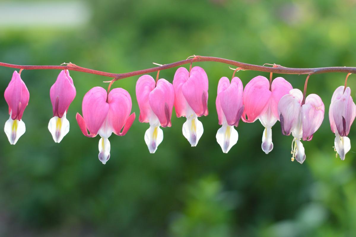 images gratuites fleur p tale floraison rouge couleur pendaison rose fermer beau. Black Bedroom Furniture Sets. Home Design Ideas