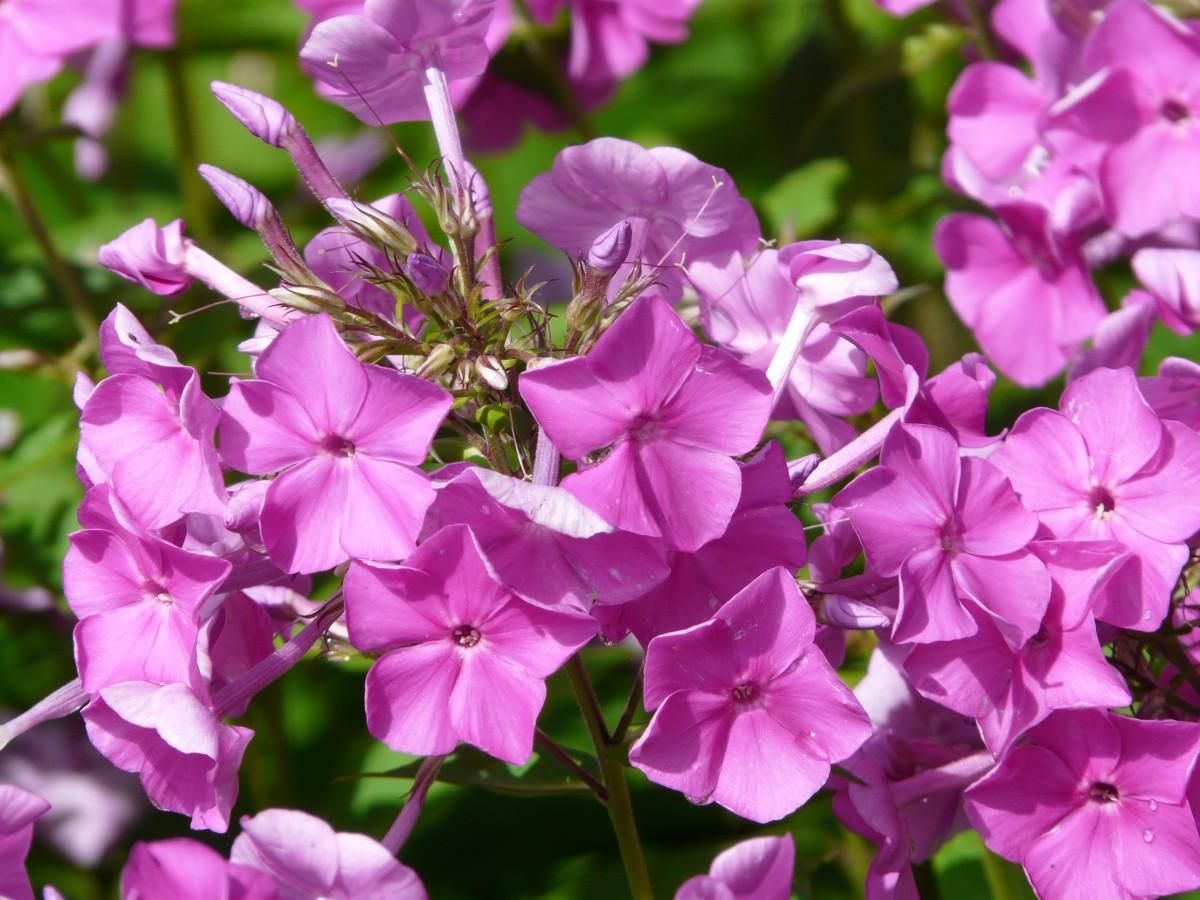 Комнатные цветы флоксы фото