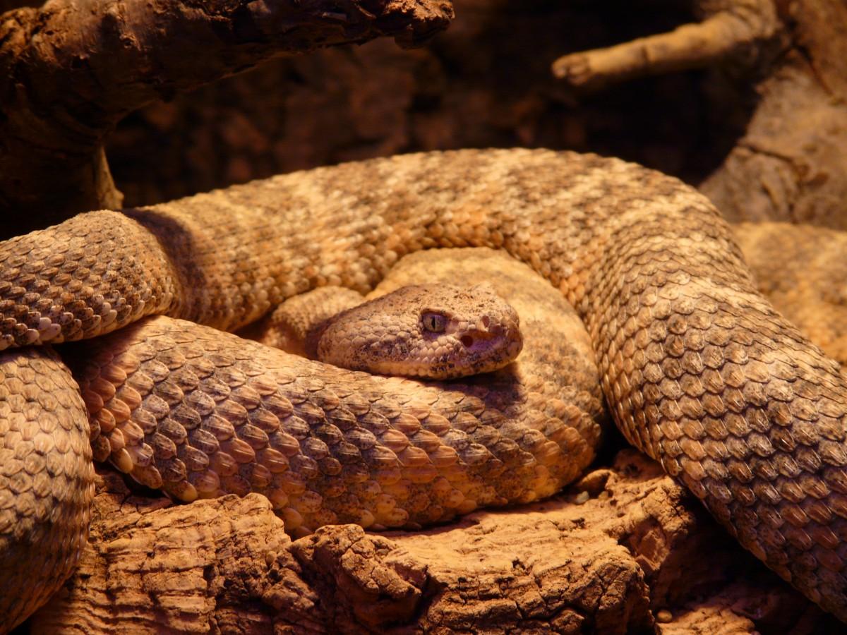 ядовитые змеи гоа фото есть