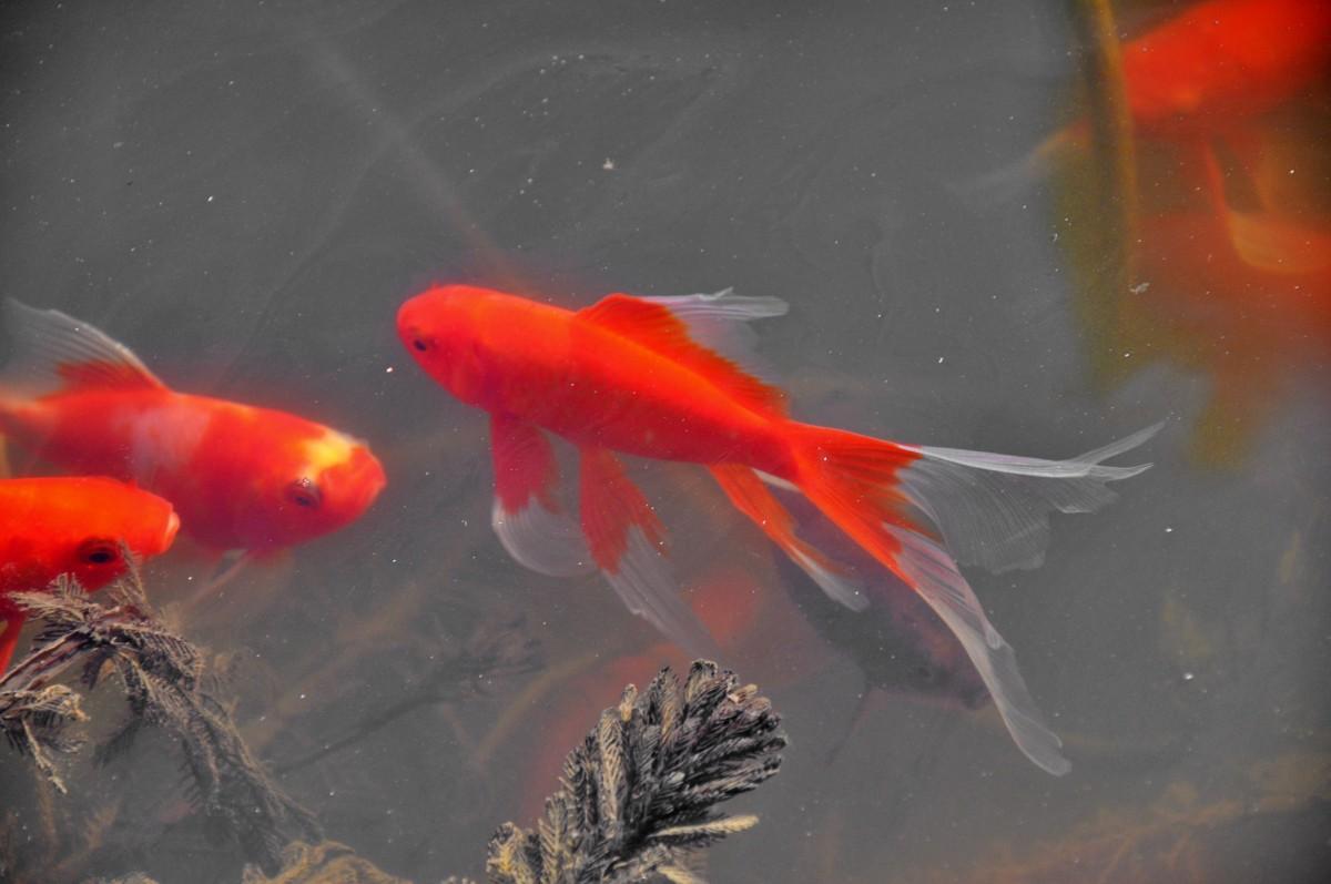 Free Images : spring, red, fish, goldfish, koi, awakening, marine ...
