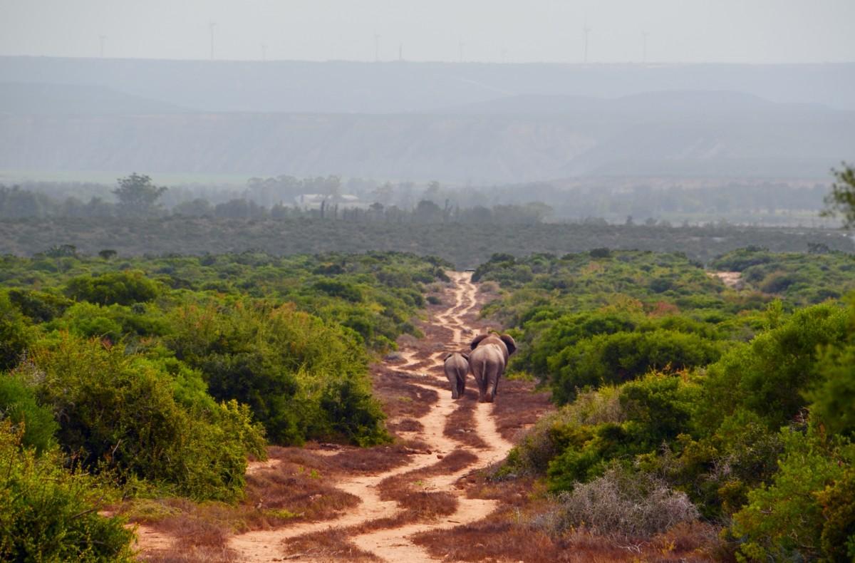 Images gratuites paysage arbre colline jungle afrique sol libert savane l phant - Photos d elephants gratuites ...