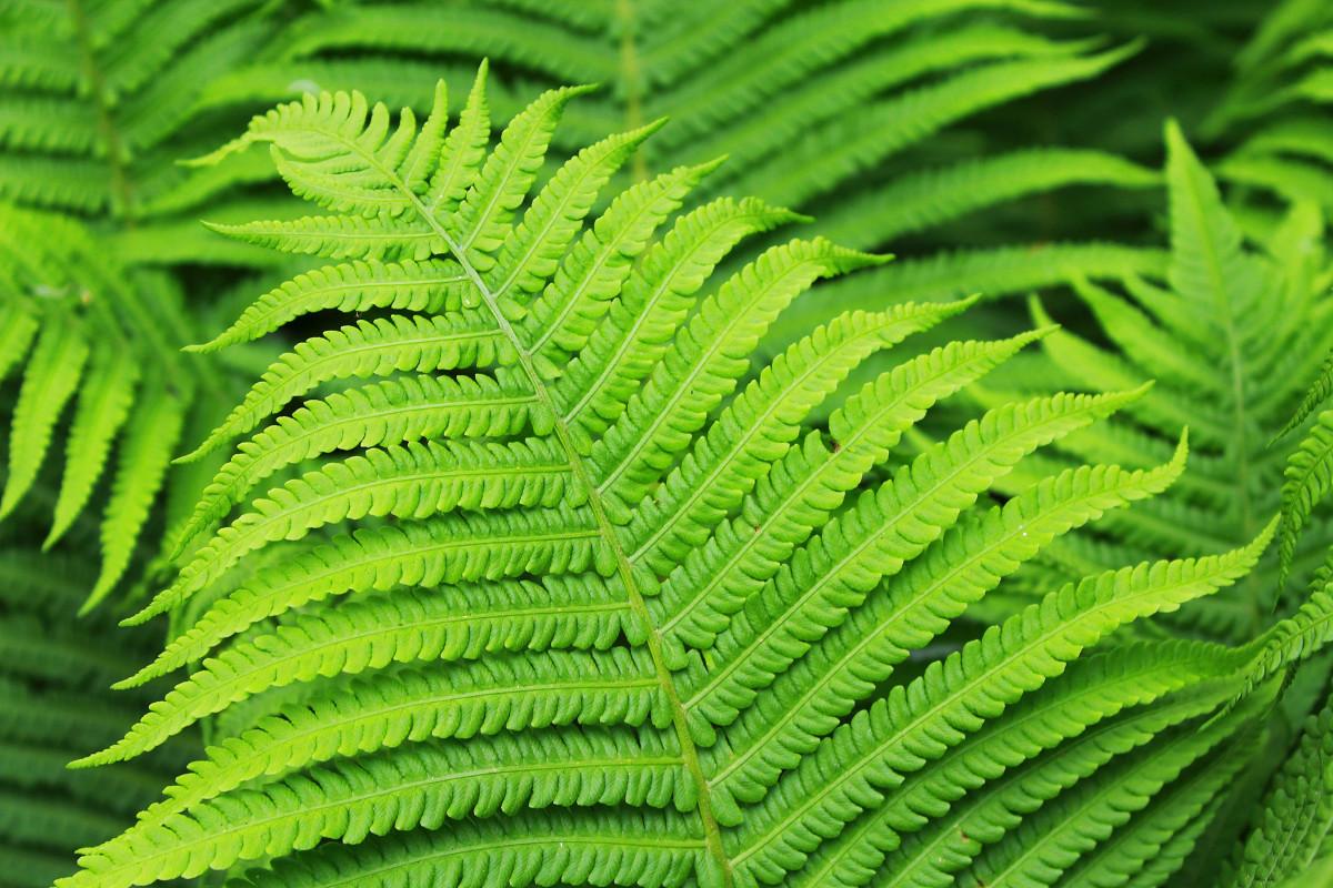 Images gratuites la nature for t feuille fleur vert for Plante 7 feuilles