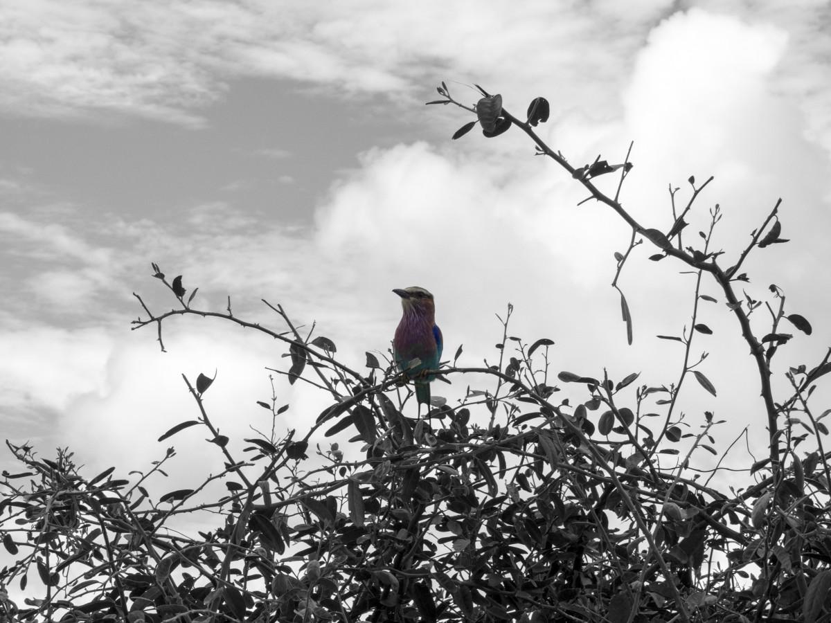 kostenlose foto baum natur ast silhouette vogel schwarz und wei himmel wind tierwelt. Black Bedroom Furniture Sets. Home Design Ideas