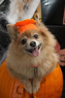Kostenlose foto : Kürbis, Halloween, Wirbeltier, Hund wie Säugetier, Hund Kreuzungen 2736x3648 ...