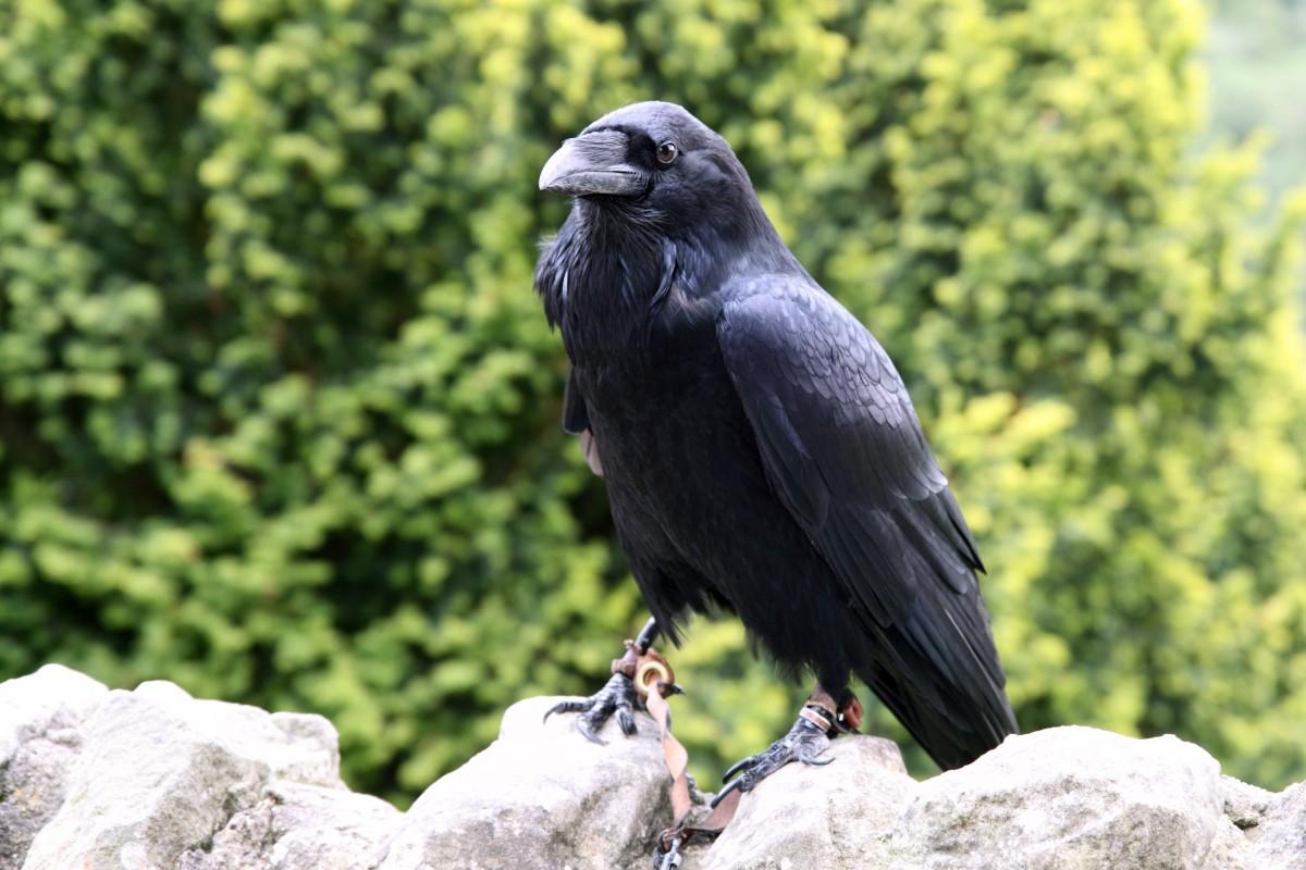 images gratuites oiseau animal lanterne symbole clairage public lampe cercle corbeau. Black Bedroom Furniture Sets. Home Design Ideas