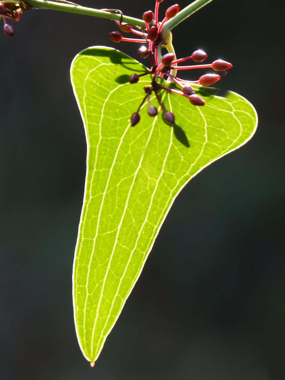 la nature branche plante baie feuille fleur vert produire insecte l'automne botanique flore faune invertébré fermer translucide arbuste Macrophotographie Faune salsepareille Tige de plante Arinjol