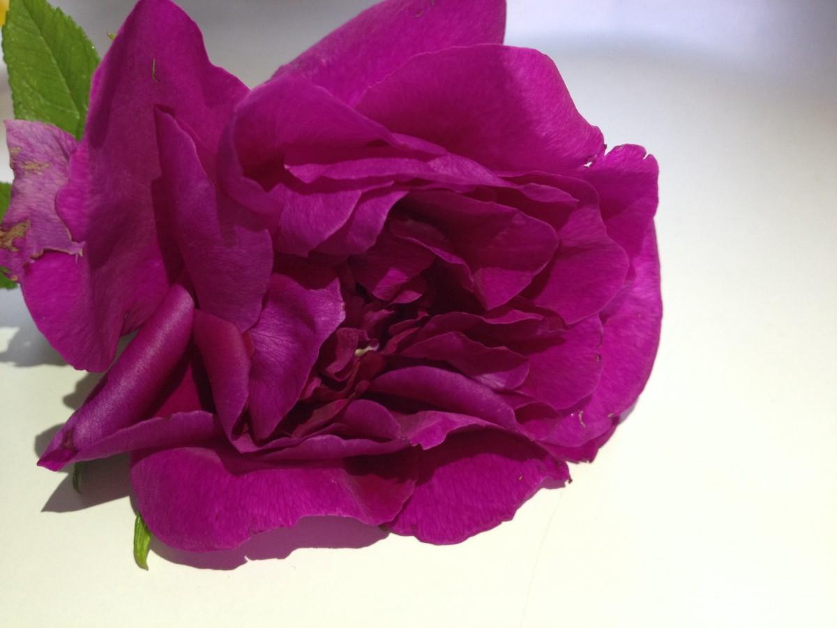 Menanam bunga ungu daun bunga musim panas mawar