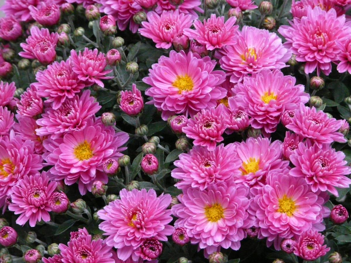 Цветы астра сорта и фото