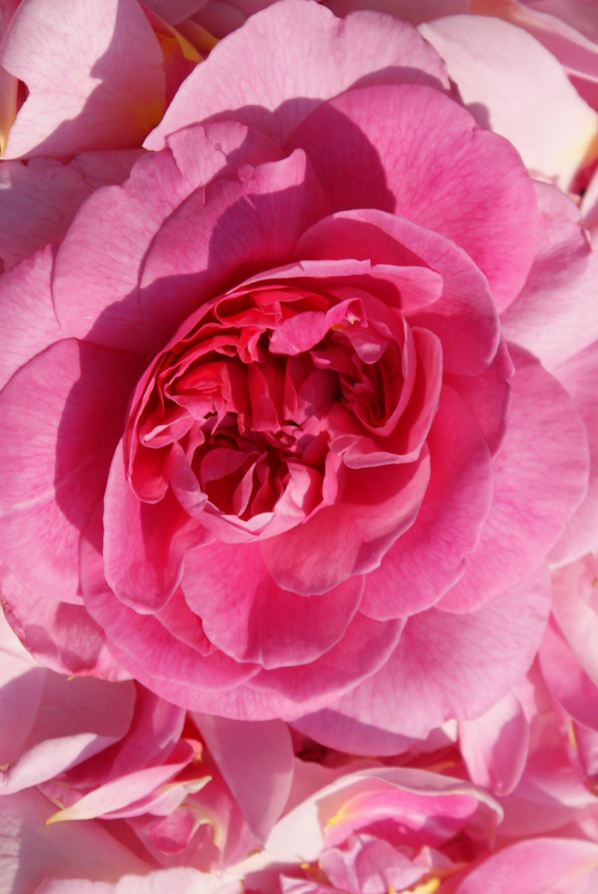 menanam bunga daun bunga mawar berwarna merah muda Budidaya Bunga