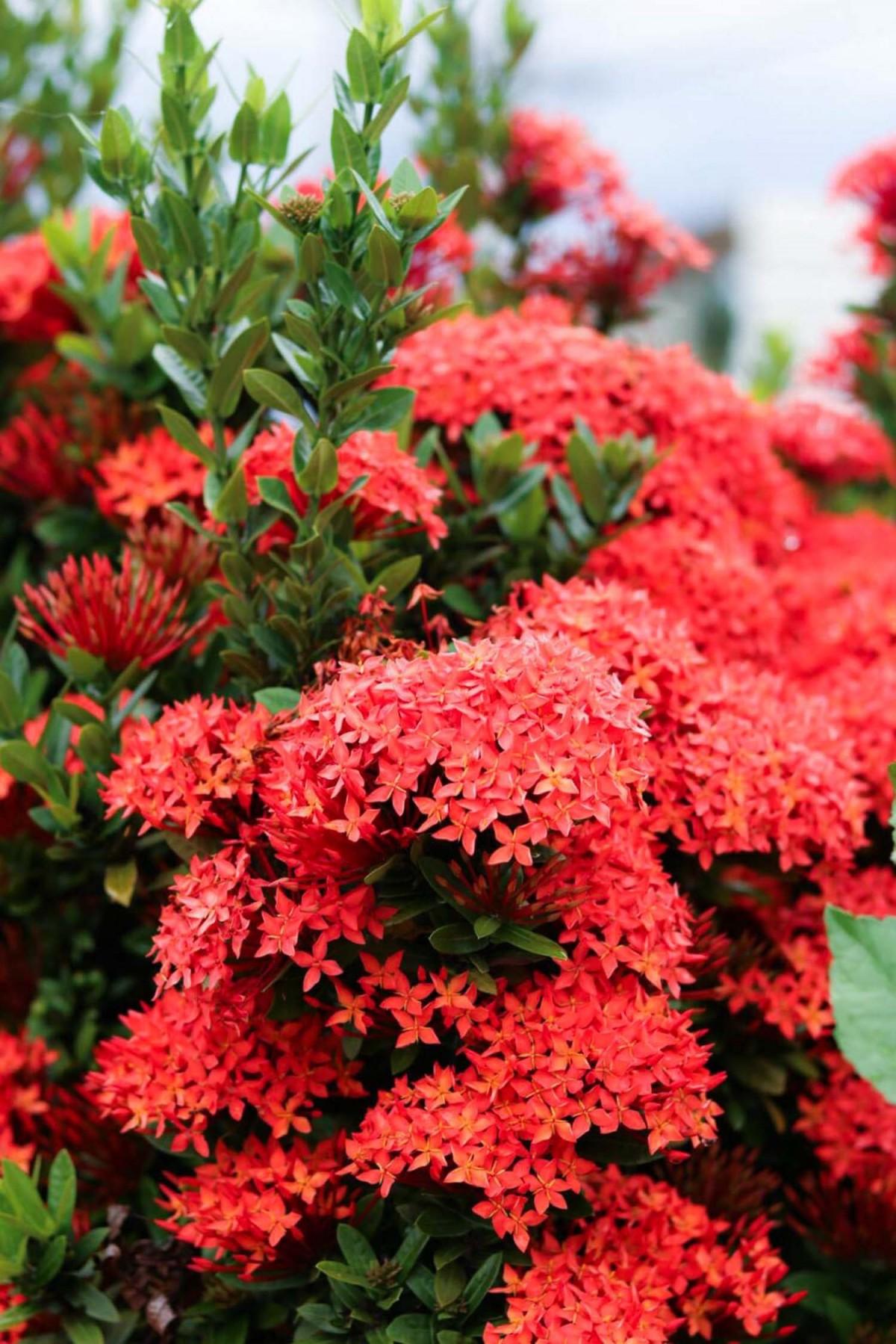 images gratuites arbre fleur rose printemps rouge botanique arbuste rhododendron. Black Bedroom Furniture Sets. Home Design Ideas