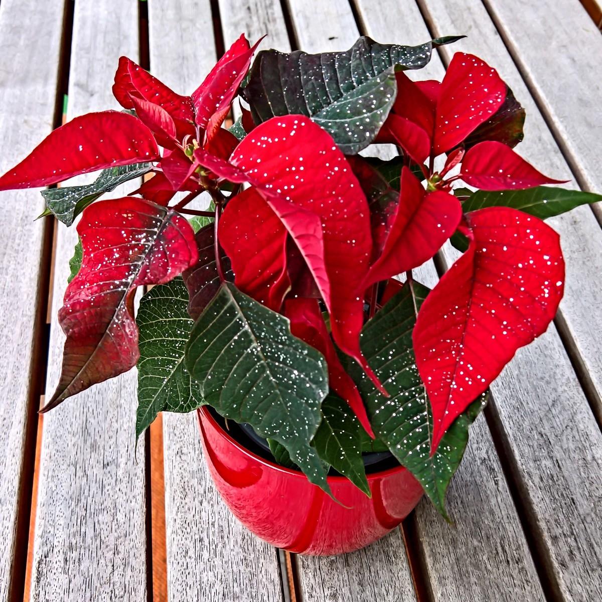 kostenlose foto natur blatt blume bl tenblatt rot makro weihnachten blumen poinsettia. Black Bedroom Furniture Sets. Home Design Ideas