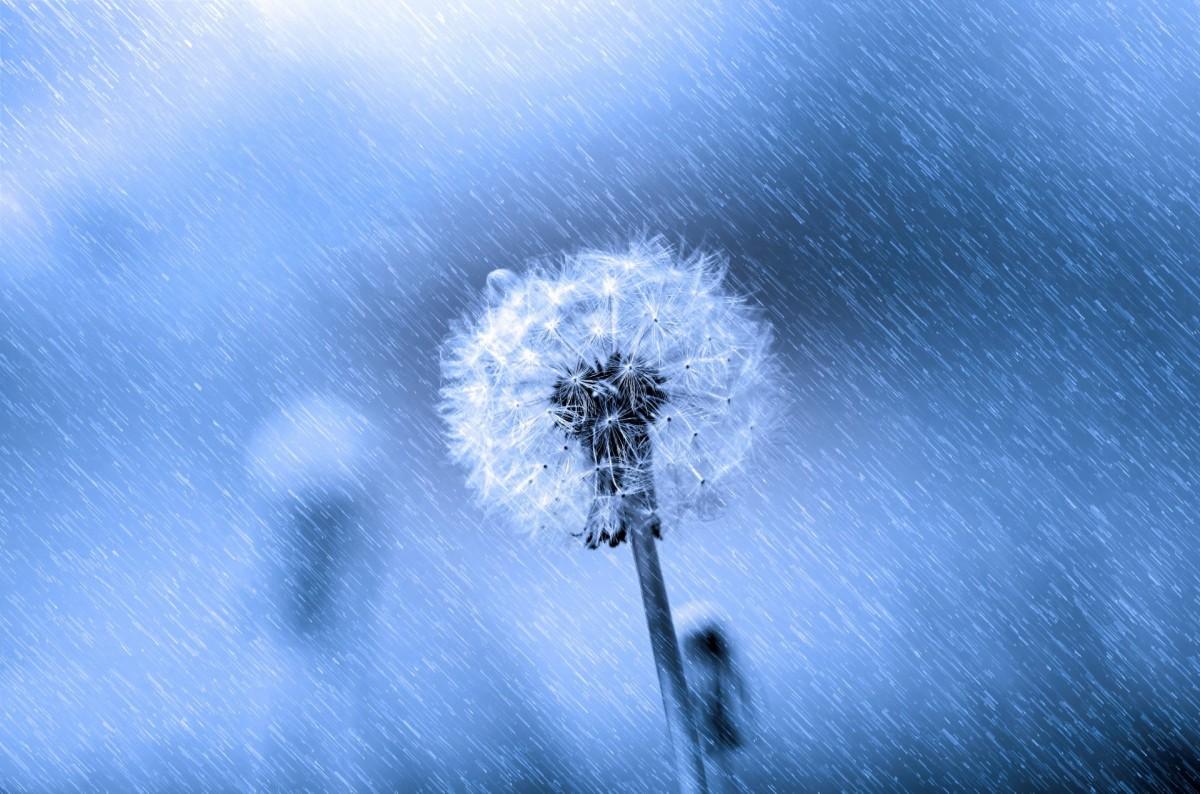 Gambar Cahaya Dandelion Benih Bunga Biru Kain Merapatkan