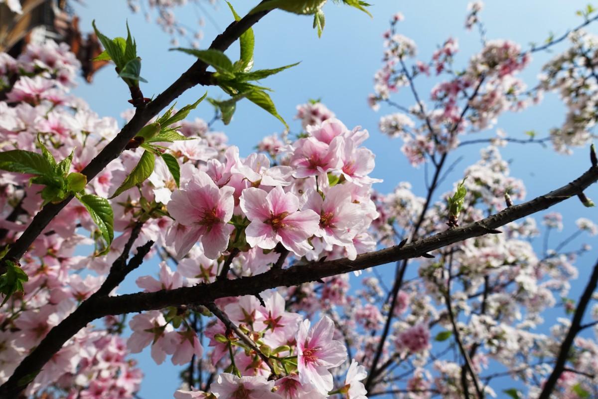 images gratuites paysage branche montagne printemps produire naturel rose saison fleur. Black Bedroom Furniture Sets. Home Design Ideas
