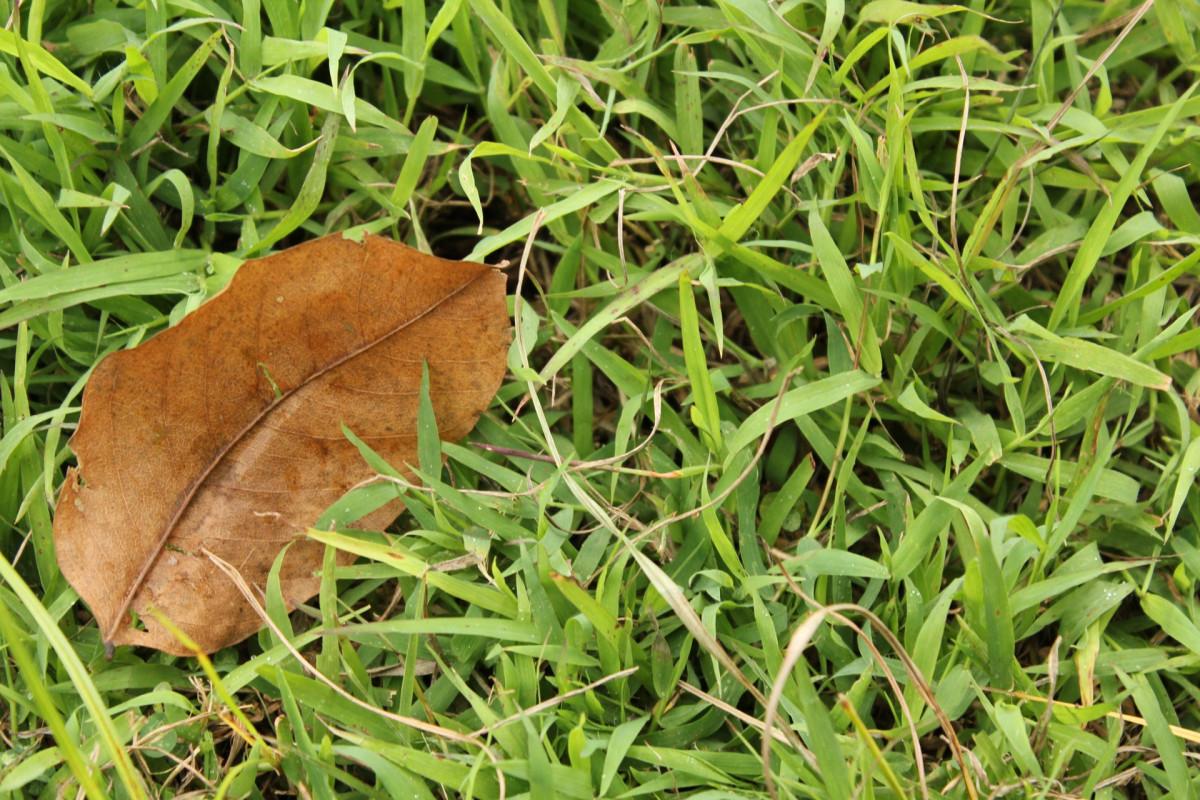 Images gratuites aile plante bois feuille marron for Plante 7 feuilles
