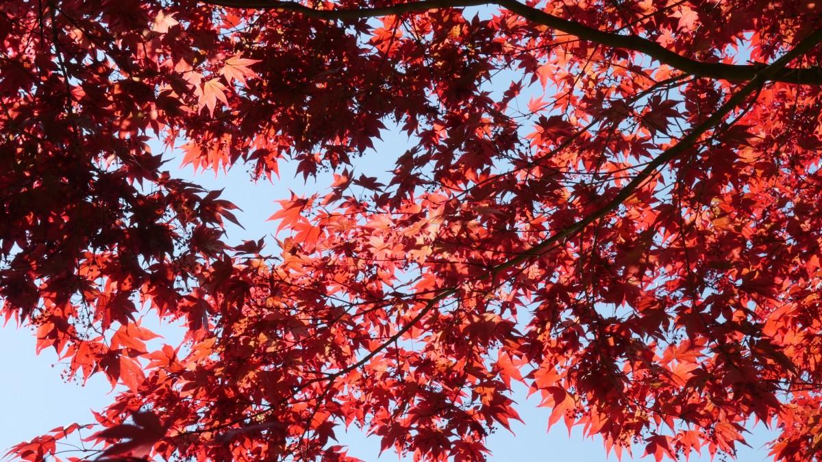 kostenlose foto baum natur ast blatt blume bl tenblatt rot farbe herbst bunt. Black Bedroom Furniture Sets. Home Design Ideas