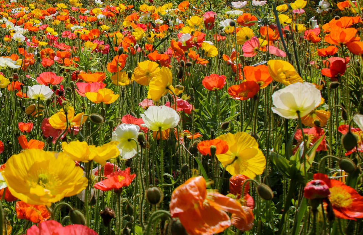 Immagini Belle : prateria, fiore, colore, colorato, flora, Fiore di ...
